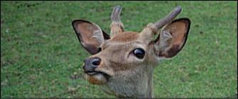 ban-top-deer-1