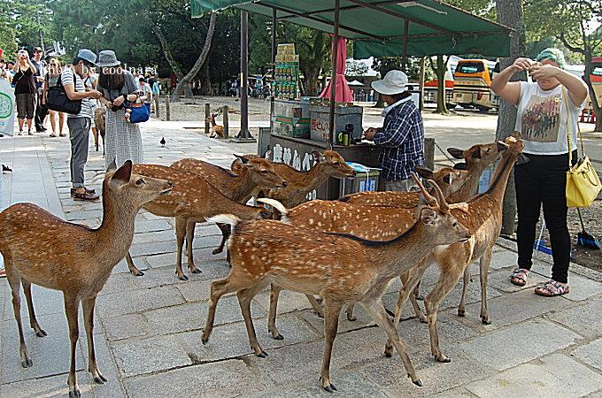 鹿-鹿せんべい