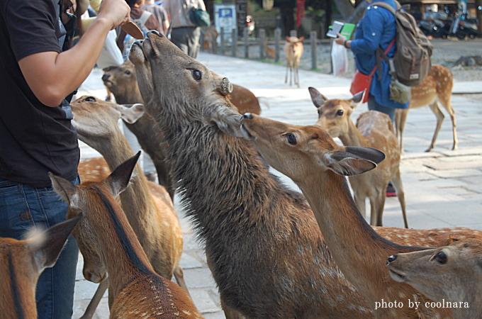 鹿-鹿せんべい、ちょうだい!ちょうだい!