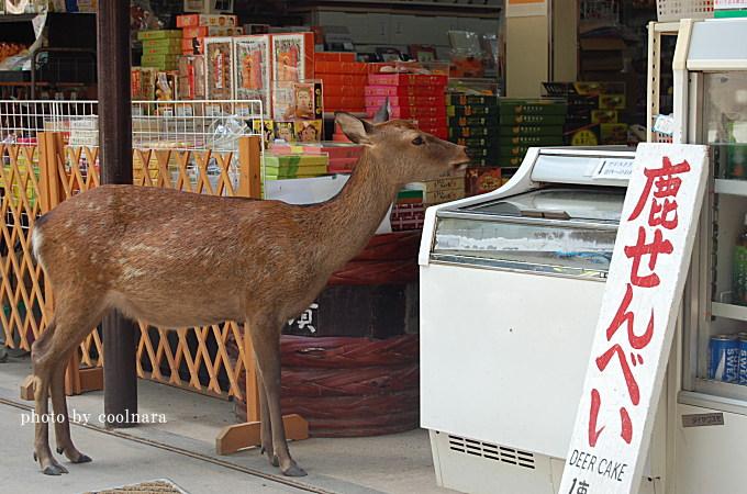 鹿-鹿せんべい下さい!