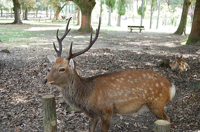 角のはえたオス鹿