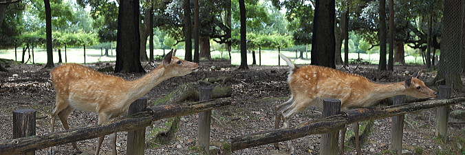 鹿-鹿せんべい欲しくておじぎ