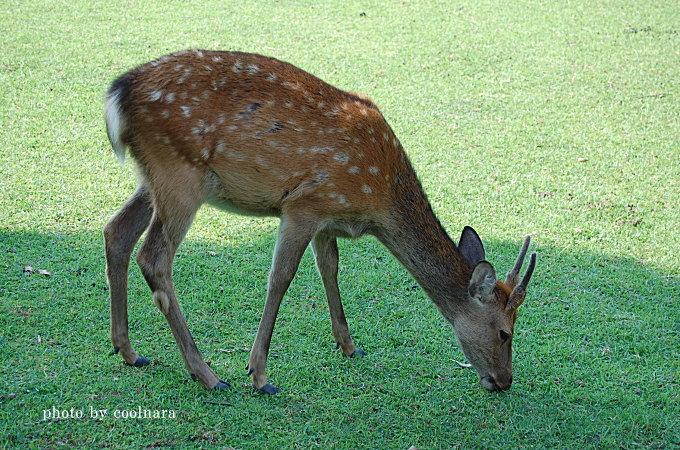 奈良の鹿は生きた芝刈り機