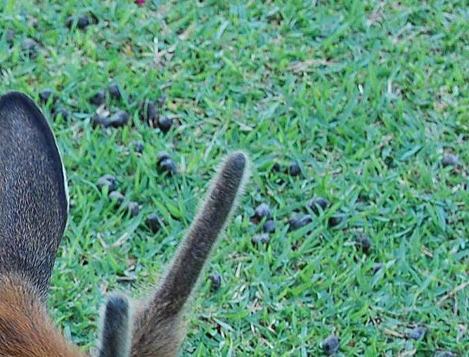 奈良の鹿のふん
