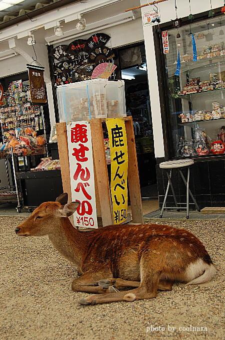 鹿-誰か鹿せんべい買ってくれないかなあ?