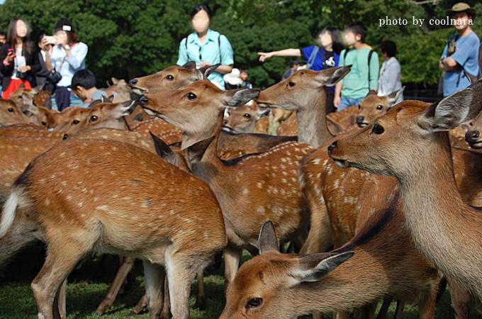 鹿寄せ(春日大社境内飛火野)