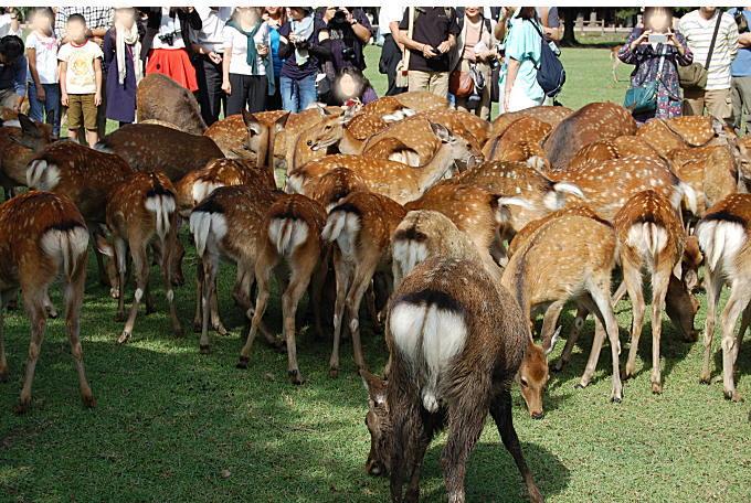 鹿寄せ(奈良公園)