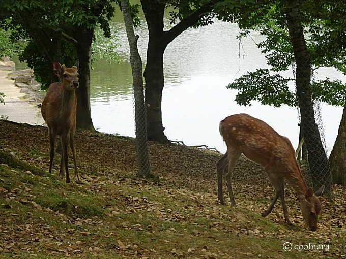 浮身堂近くでくつろぐ鹿