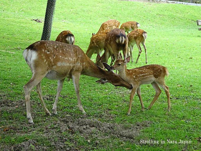 奈良公園小鹿親子