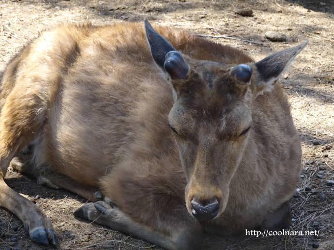 奈良公園の鹿の角