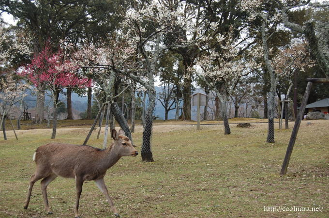 片岡梅林と鹿